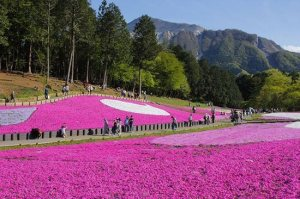 Carpets of pink flowers in Japan